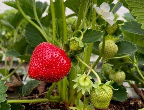 ersten Erdbeeren